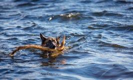Schäferhundhund, der einen Stock im See holt Stockfoto