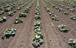 Schiacci le piante nelle righe in un campo dell'azienda agricola Immagine Stock