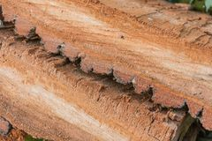 Schicht der Barke des alten Baums wird in einem Abschnitt gesägt Stockbild