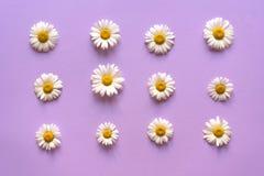 Schicht Kamille symmetrisch auf einem hellpurpurnen Hintergrund stockfotografie
