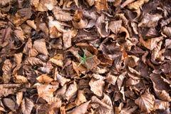 Schicht von Braunem trocknen Blätter Stockbild