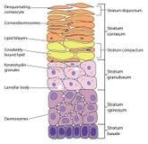 Schichten der Haut lizenzfreie abbildung