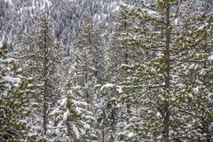 Schichten des Koniferenwaldes nach Schneefällen, Okanagan, BC Kanada Stockbild