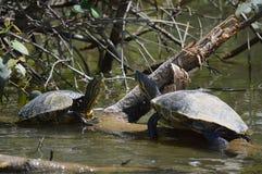 Schieber-Schildkröten, die auf einer großen Niederlassung sich sonnen Lizenzfreie Stockbilder