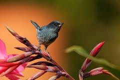 Schieferartiges flowerpiercer - Diglossa-plumbea passerine Vogel endemisch zu den Hochländern von Costa Rica und von West-Panama, stockbild