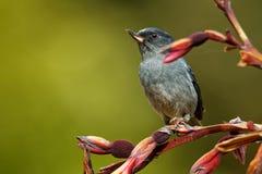 Schieferartiges flowerpiercer - Diglossa-plumbea passerine Vogel endemisch zu den Hochländern von Costa Rica und von West-Panama, lizenzfreie stockfotos
