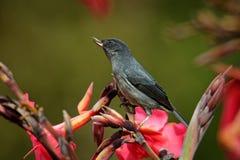 Schieferartiges flowerpiercer - Diglossa-plumbea passerine Vogel endemisch zu den Hochländern von Costa Rica und von West-Panama, lizenzfreie stockbilder
