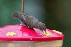 Schieferartiges flowerpiercer - Diglossa-plumbea passerine Vogel endemisch zu den Hochländern von Costa Rica und von West-Panama, stockbilder