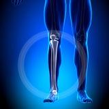 Schienbein/Wadenbein - Kalb-Anatomie - Anatomie-Knochen lizenzfreie abbildung