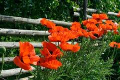Schienenzaun und -mohnblumen Stockfotos