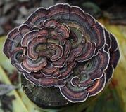 Schierling-Lack Regal/Ganoderma tsugae Lizenzfreie Stockbilder