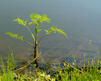 Schierling oder blühender Giftschierling, Conium maculatum lizenzfreie stockfotos