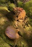 Schierling reishi vermehrt sich mit den braunen Sporen, Sunapee, neues Hampshi explosionsartig Lizenzfreie Stockfotografie