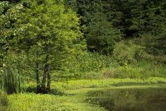Schierling und Wasservegetation lizenzfreies stockbild