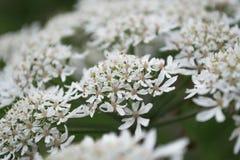 Schierlings-Petersilien-Blumen schließen oben Lizenzfreies Stockfoto