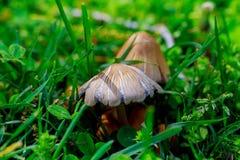 schiet de grasfoto, eetbare wilde paddestoelen giftige paddestoelen als paddestoelen uit de grond Stock Afbeeldingen