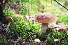 Schiet Reeks als paddestoelen uit de grond: Porcini (Penny Bun, Eekhoorntjesbrood) Stock Foto