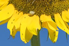 Schild-Wanze auf riesiger Sonnenblume lizenzfreies stockfoto
