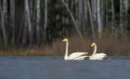Schilderachtig bekijk paar volwassen whooperzwanen die dicht bij elkaar met wit veren en gevederte zwemmen royalty-vrije stock fotografie