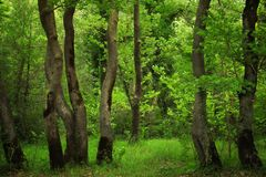 Schilderachtige boomboomstammen in een dromerig groen gematigd bos Royalty-vrije Stock Foto's