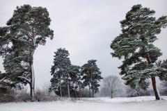 Schilderachtige foto van een bosje van de de winterpijnboom met verse sneeuw stock foto