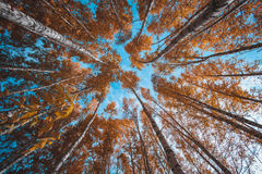 Schilderachtige heldere gele kroonbovenkanten in de herfstbos Stock Foto's