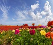 Schilderachtige multi-colored tuinboterbloemen en cirruswolken De kaart van de groet Zuiden van Israël, de zomerdag Het concept v royalty-vrije stock afbeelding