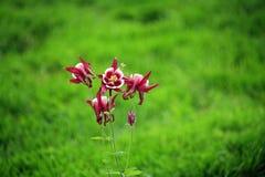 Schilderachtige Roze Aquilegia-bloemen Royalty-vrije Stock Afbeeldingen