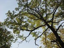 Schilderachtige vertakte boom Stock Afbeeldingen