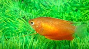 Schilderde helder een kleine vis Stock Foto
