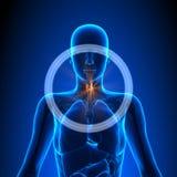 Schildklier - Vrouwelijke Organen - Menselijke Anatomie vector illustratie