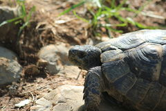 Schildkröte 免版税库存图片