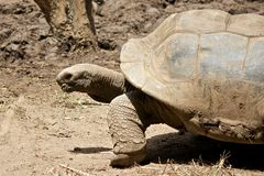Schildkröte 1 Stockfotografie
