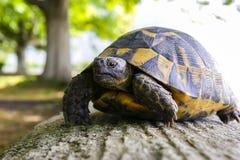 Schildkröte - Schildkröte Stockfoto