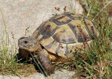 Schildkröte Lizenzfreie Stockfotografie