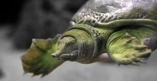 Schildkröte Stockfotografie