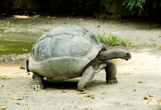 Schildkröte lizenzfreie stockbilder