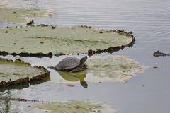 Schildkröte Stockfotos