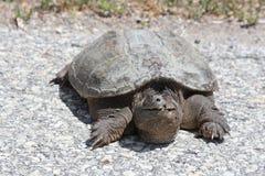 Schildkröte, allgemeines reißendes Chelydra serpentina Lizenzfreies Stockfoto
