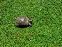 Schildkröte auf dem grünen Gras Lizenzfreie Stockbilder