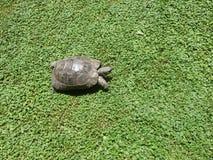 Schildkröte auf dem Gras Stockfotos