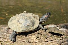Schildkröte auf dem Holz Lizenzfreies Stockfoto