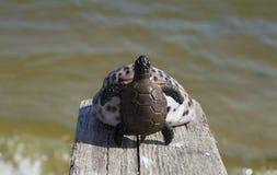 Schildkröte auf dem Oberteil stockfoto