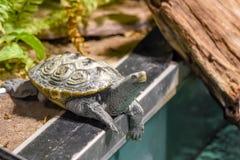 Schildkröte auf dem Rand Lizenzfreies Stockfoto