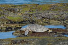 Schildkröte auf den Felsen Lizenzfreie Stockfotografie