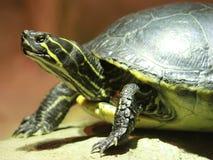 Schildkröte auf einem Felsen Stockbild