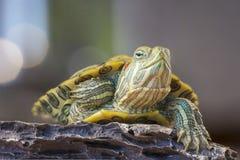 Schildkröte auf einem Felsen stockfoto