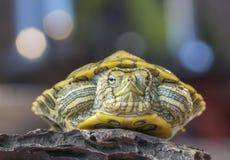 Schildkröte auf einem Felsen stockbilder