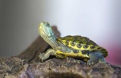 Schildkröte auf einem Felsen lizenzfreies stockfoto