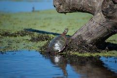Schildkröte auf einem Klotz Lizenzfreie Stockbilder